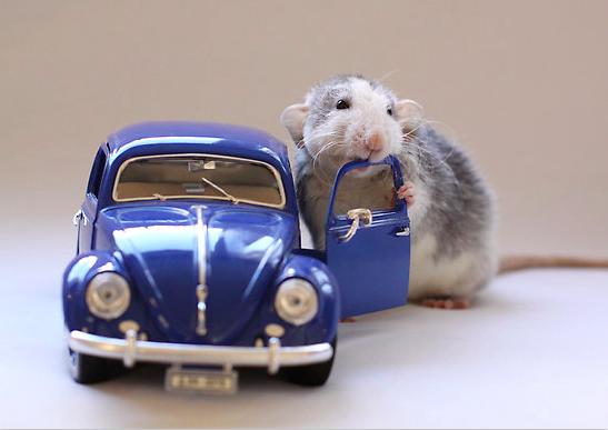 Крыса позирует с автомобилем. Эллен ван Дилен. Фото