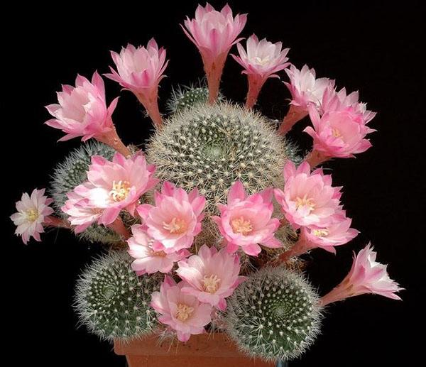 цветущий кактус ребуция