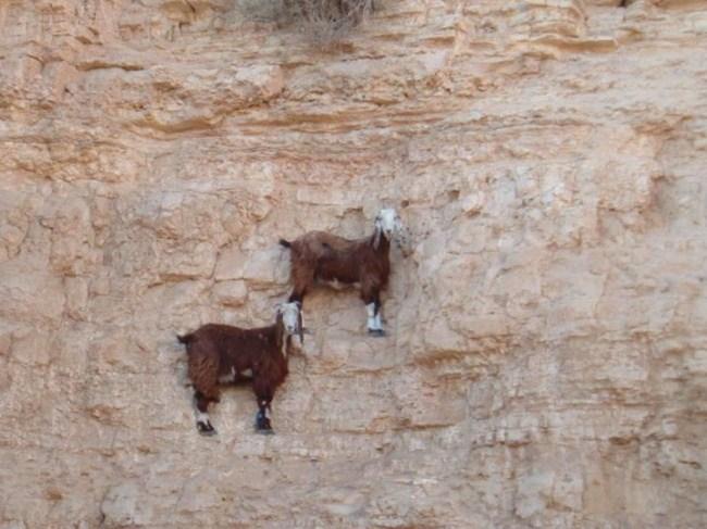 горные козлы бесстрашные животные (3)