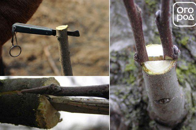 прививка дерева методом в расщеп фото