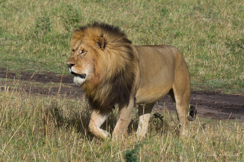 картинки про львов в африке всего, такие конвертеры