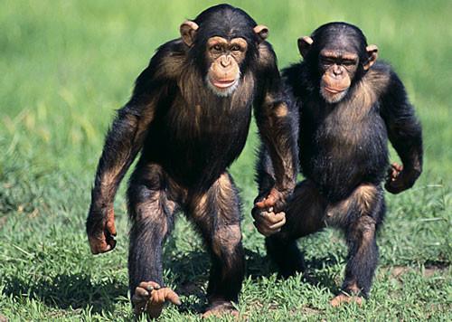 Шимпанзе умеют устраивать выборы земля, природа, удивительное рядом, чудеса