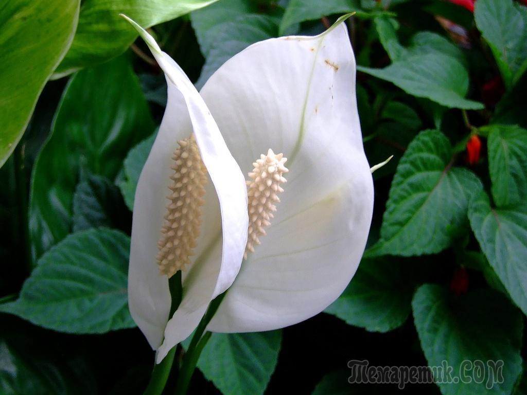 К чему цветет спатифиллум приметы