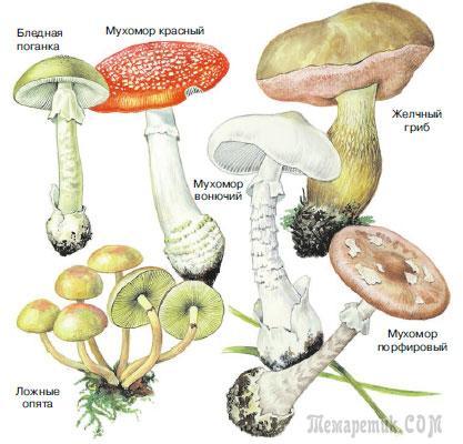 могут ли ядовитые грибы быть червивыми