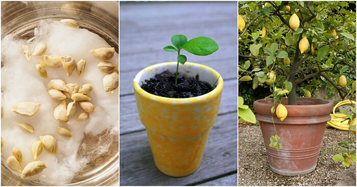 Процесс роста лимона