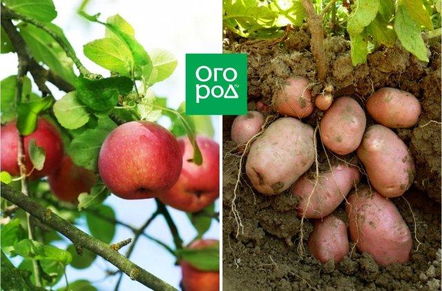 яблоня и картофель