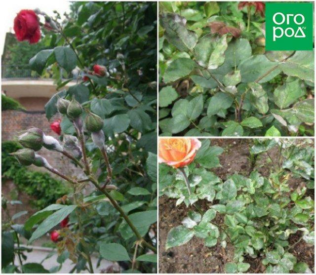 мучнистая роса роз
