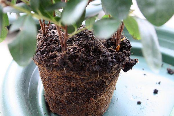 Не пересаживайте растение зимой