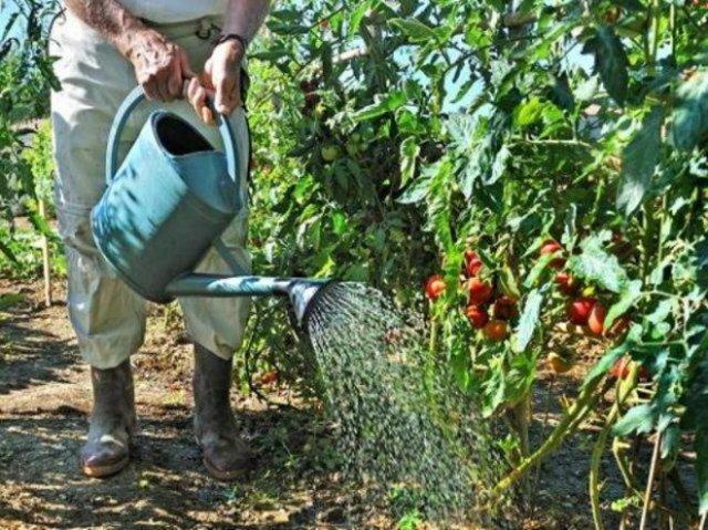 Народные подкормки томатов и огурцов – проверенные рецепты