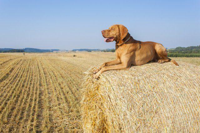 Собака на соломе