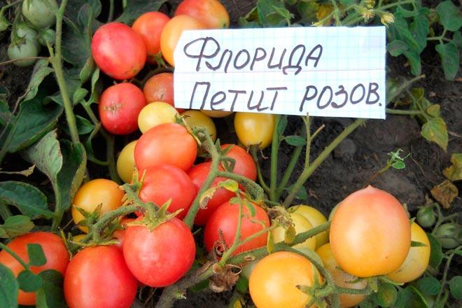 Какой сорт помидоров можно выращивать на подоконнике?
