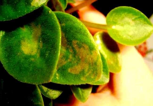 Желто-коричневые пятна на листьях фиалки