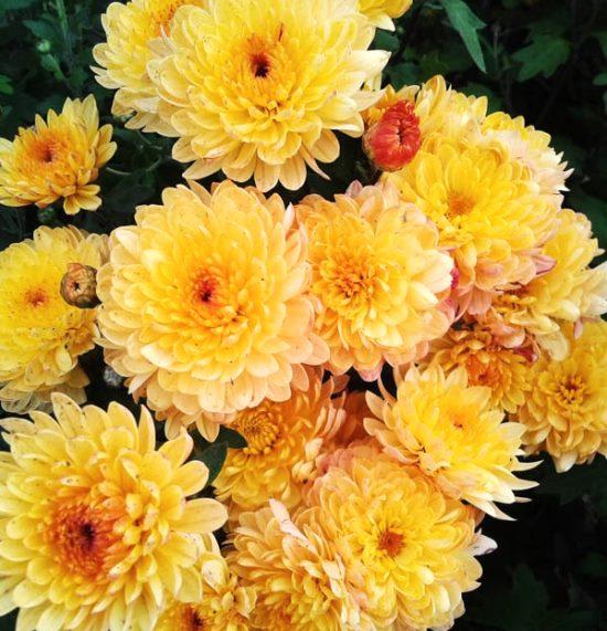 Хризантема Мультифлора (шаровидная) Branindio