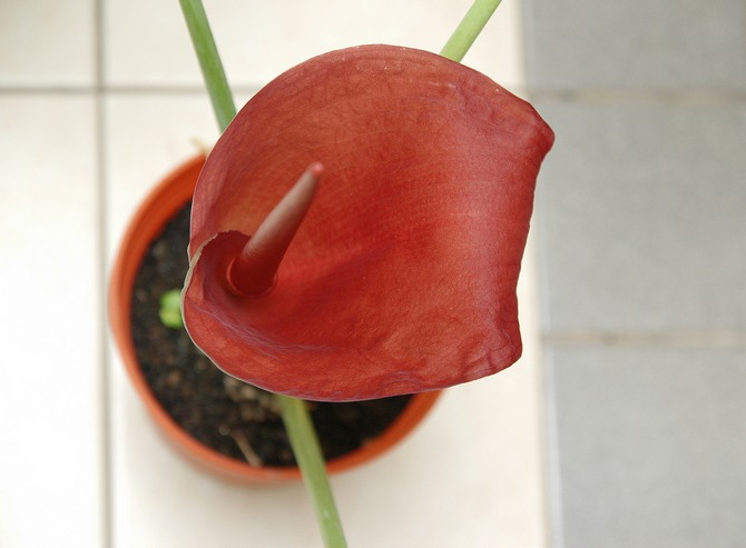 Уход за аморфофаллусом в домашних условиях