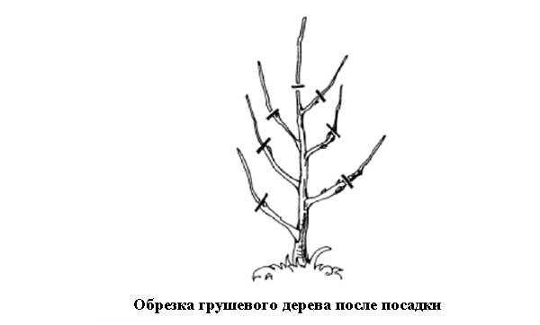 Обрезка грушевого дерева после посадки