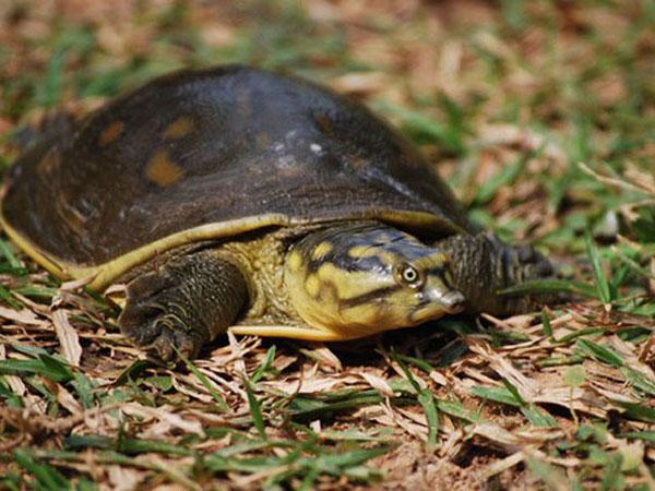 Индийская лопастная черепаха