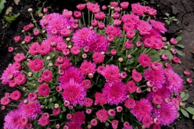 Шаровидная хризантема Branbeach Lilac