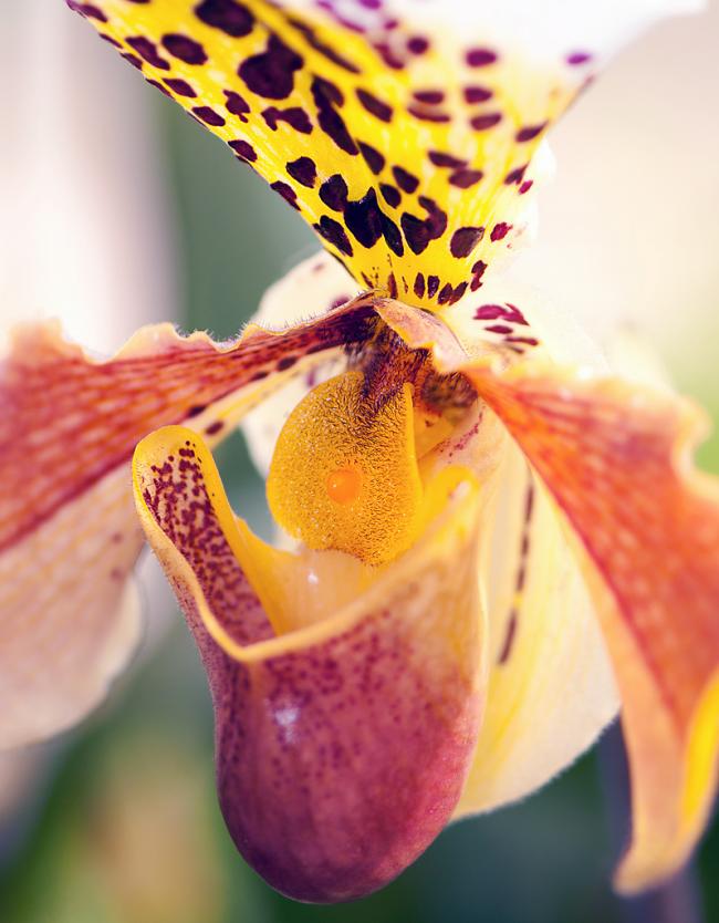 Роскошный цветок относится к семейству орхидей