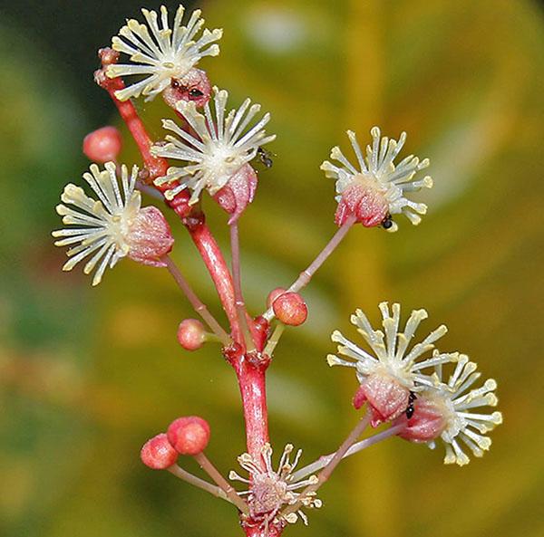 Мужские цветки кротона