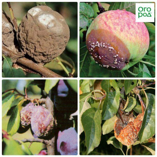 плодовая гниль на деревьях