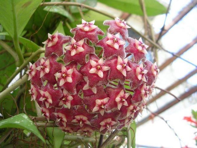 Растение лучше разместить в непосредственной близости от окна, выходящего на юго-восток или юго-запад