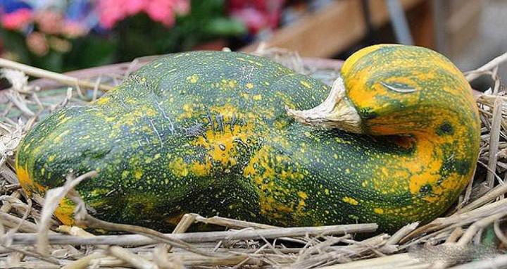 FunnyShaped07 Вальяжная редька и другие фрукты овощи, забывшие, что они растения