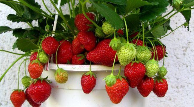Земляника, выращенная в питательном субстрате в домашних условиях, богата полезными веществами и по праву считается одной из самых вкусных ягод