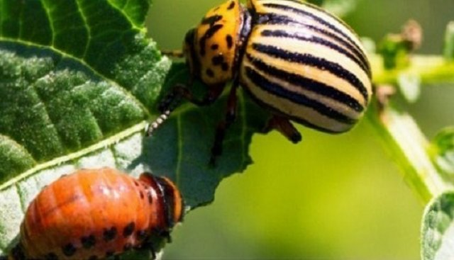 колорадский жук в огороде