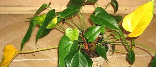 Болезни листьев антуриума и их лечение