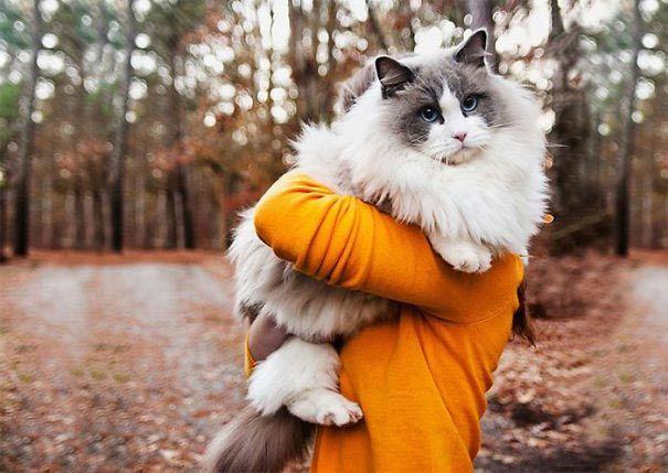 пушистые кошки, самые пушистые кошки, пушистые котята