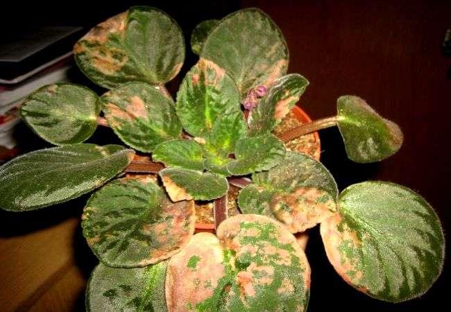 Темные пятна на листьях сенполии