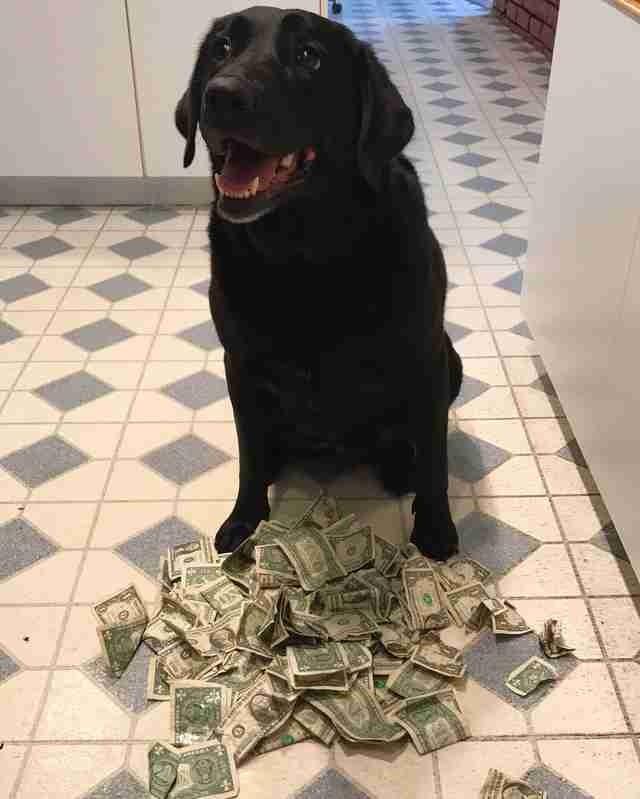 Став взрослой, Холли скопила богатство, которое оценивается примерно в 87 долларов. Трудно точно посчитать — сама собака не умеет, а хозяйка не хочет разорять её основную «сокровищницу». в мире, деньги, животные, интересное, истории, прикол, собака