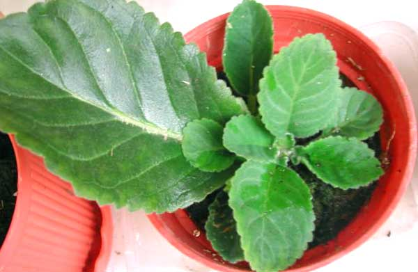 Размножить глоксинию листом