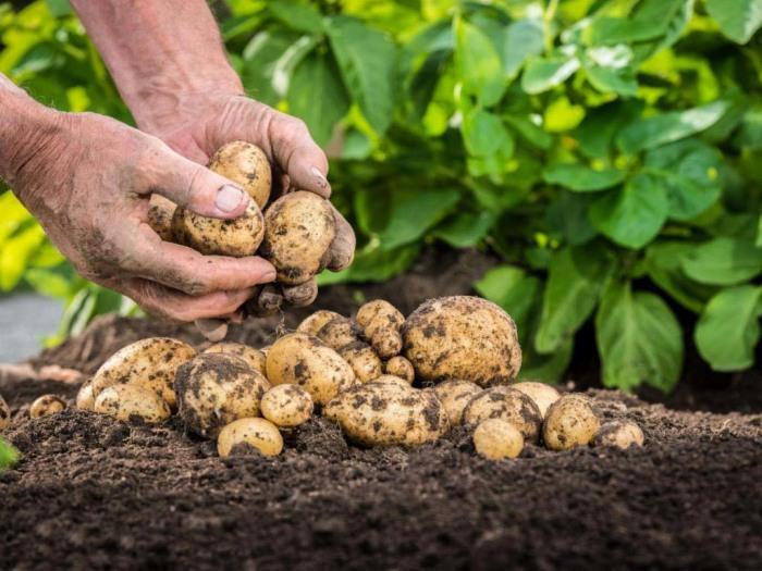 Картофель — важное составляющее любого земельного участка. /Фото: ogorodsadovod.com