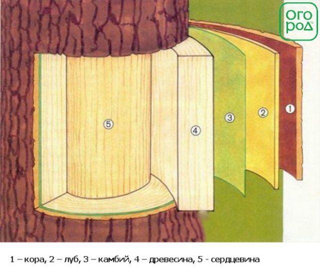 камбий, строение коры дерева