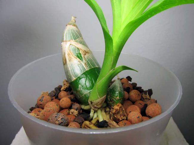 Псевдобульбы большинству цветоводов известны названием ложная луковица или цветочный туберидий