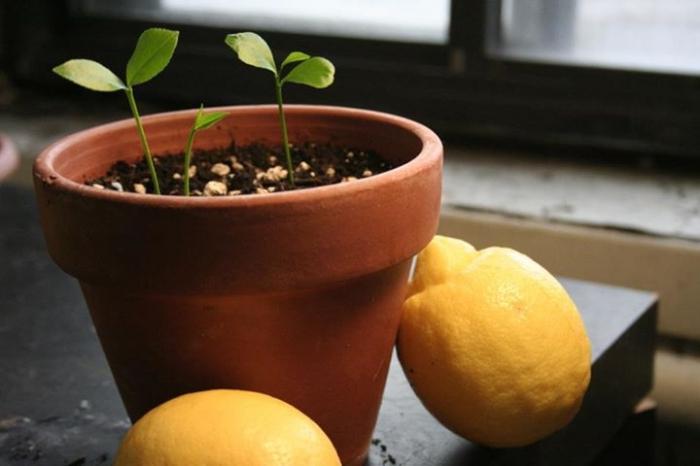Росток лимона