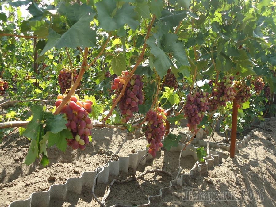 Виноград ризамат  описание