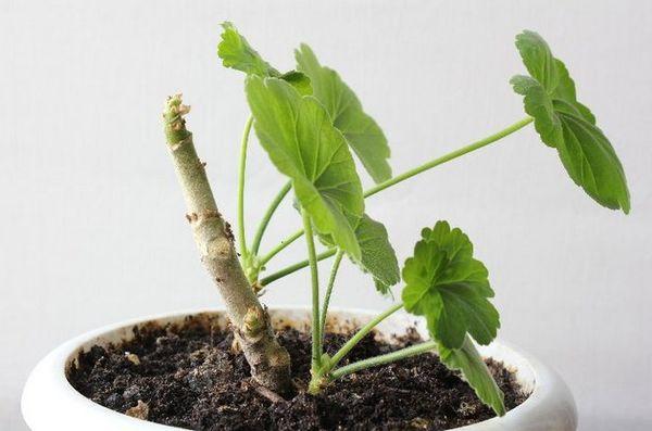 Опытные цветоводы составляют почвенную смесь из дренажной земли