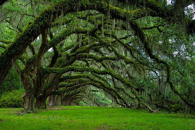 Свисающие дубы на плантации Дикси в Южной Каролине, США.