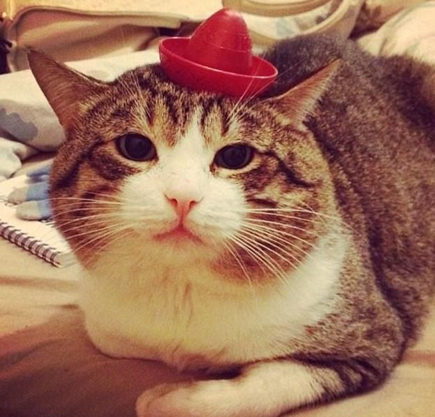 Красная мини-шляпка - последний писк кошачьей моды! животная мода, животные, животные и люди, коты, показ мод, смешно, фото, шляпки