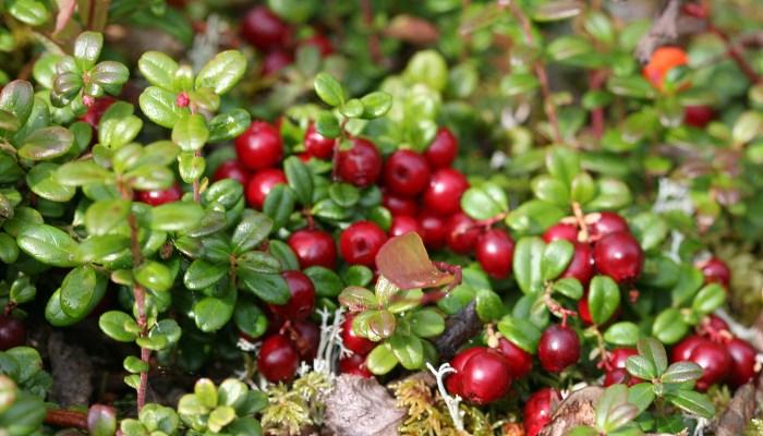 Самые полезные ягоды - клюква и другие