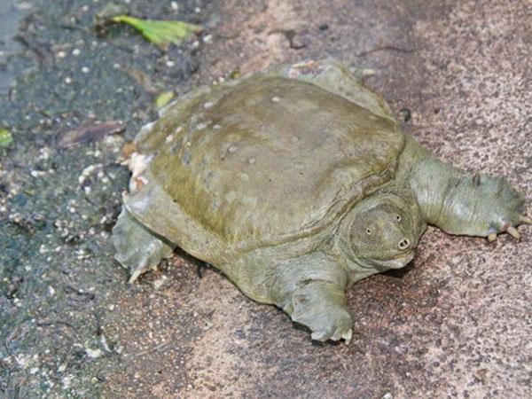 Мягкопанцирная китайская черепаха