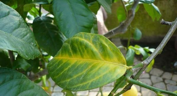 Листья лимона опадают также при низкой температуре
