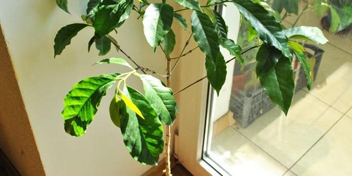 Кофейное дерево на подоконнике