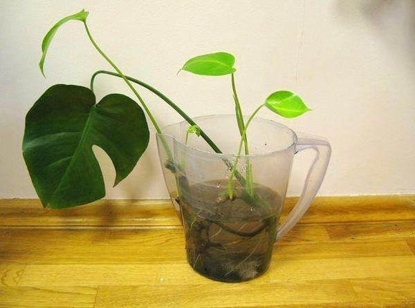 Размножение монстеры листьями