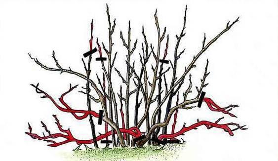 Важные особенности по уходу за смородиной осенью
