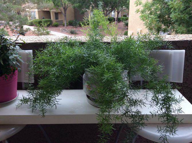 Аспарагус мейера комнатные растения