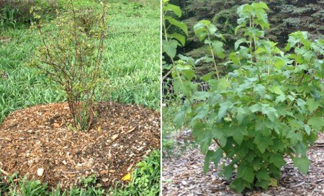 мульчирование смородины в саду