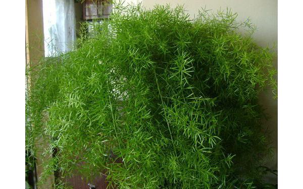 Самые полезные комнатные растения: Для людей, страдающих хроническим бронхитом, эмфиземой легких, бронхиальной астмой, катаром верхних дыхательных путей, просто необходимо посадить у себя в доме